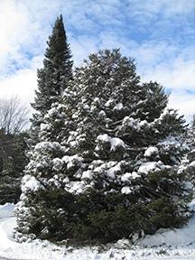 snow2015tree